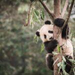 Chengdu: conheça a cidade dos pandas gigantes