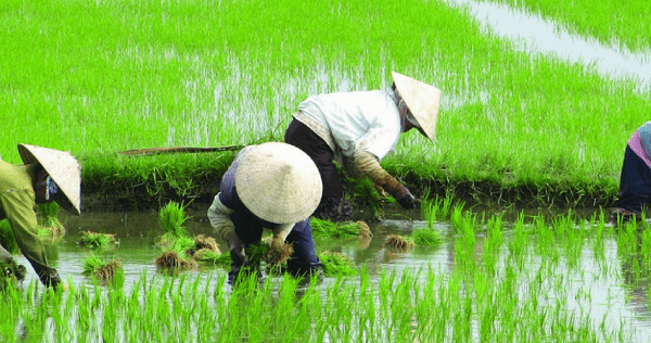 agricultura chinesa 1