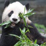Urso Panda: o símbolo e o espírito animal da China